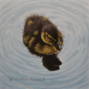 "SOLD ""Swimming in Circles - Mallard Duckling"" by W. Allan Hancock 6 x 6 - acrylic $500 Unframed $665 in show frame"