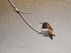 "SOLD ""Content – Rufous Hummingbird,"" by W. Allan Hancock 6 x 8 – acrylic $600 Unframed"