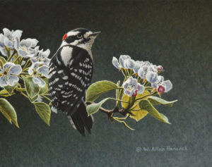 "SOLD ""For the Moment – Downy Woodpecker,"" by W. Allan Hancock 8 x 10 – acrylic $900 Unframed"