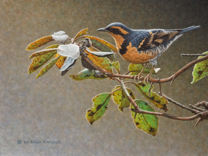 "SOLD ""In the Arbutus – Varied Thrush,"" by W. Allan Hancock 9 x 12 – acrylic $1150 Unframed"