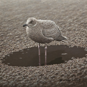"SOLD ""One of Those Days – Immature Glaucous-Winged Gull,"" by W. Allan Hancock 12 x 12 – acrylic $1400 Unframed"