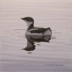 """On Winter Water - Marbled Murralet,"" by W. Allan Hancock 10 x 10 - acrylic $1180 Unframed"