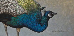 "SOLD ""Peacock Portrait,"" by W. Allan Hancock 6 x 12 – acrylic $800 Unframed"