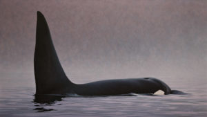 "SOLD ""Searching the Silence – Orca,"" by W. Allan Hancock 27 x 48 – acrylic $5000 Unframed"