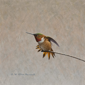 "SOLD ""Swordplay – Rufous Hummingbird 2,"" by W. Allan Hancock 8 x 8 – acrylic $750 Unframed"