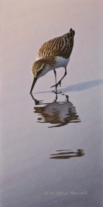 "SOLD ""Searching - Western Sandpiper"" by W. Allan Hancock 6 x 12 - acrylic $800 Unframed $965 in show frame"
