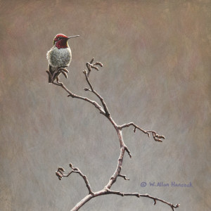 "SOLD ""Alder Watch – Anna's Hummingbird,"" by W. Allan Hancock 10 x 10 – acrylic $1100 Unframed"