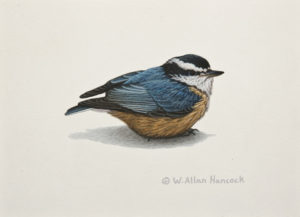 "SOLD ""Red-breasted Nuthatch 2,"" by W. Allan Hancock 5 x 7 - acrylic $500 Unframed $630 in show frame"