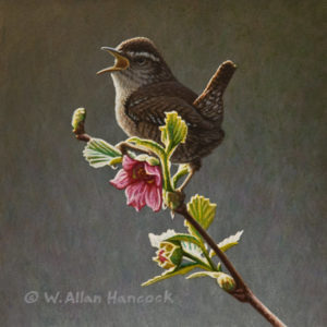 "SOLD ""Salmonberry Solo - Winter Wren,"" by W. Allan Hancock 6 x 6 - acrylic $500 Unframed $675 in show frame"