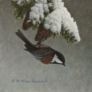 "SOLD ""Snow Cones - Chestnut-backed Chickadee,"" by W. Allan Hancock 6 x 6 - acrylic $500 Unframed $675 in show frame"