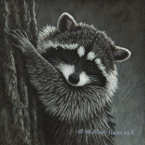 "SOLD ""The Climber - Raccoon,"" by W. Allan Hancock 6 x 6 - acrylic $690 in show frame $500 Unframed"