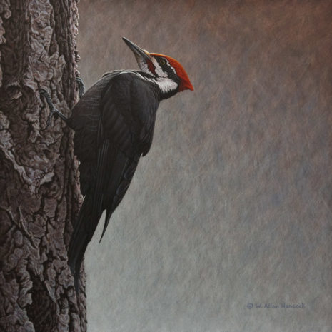 "SOLD ""On the Rough Side - Pileated Woodpecker"" by W. Allan Hancock 16 x 16 - acrylic $2200 in show frame $1850 Unframed"