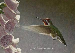 "SOLD ""Approaching Foxglove - Anna's Hummingbird"" by W. Allan Hancock 5 x 7 - acrylic $500 Unframed $685 in show frame"