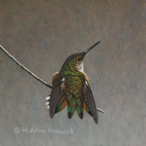 "SOLD ""Light Stretch - Rufous Hummingbird"" by W. Allan Hancock 6 x 6 - acrylic $500 Unframed $685 in show frame"