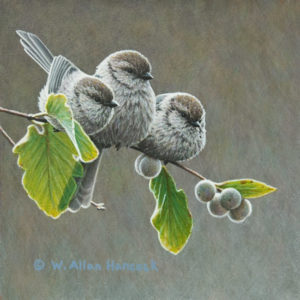 "SOLD ""Full Branch - Bushtits,"" by W. Allan Hancock 6 x 6 - acrylic $550 Unframed"