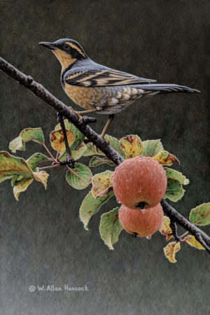"SOLD ""Autumn Rounds - Varied Thrush,"" by W. Allan Hancock 8 x 12 - acrylic $1150 Unframed $1400 in show frame"