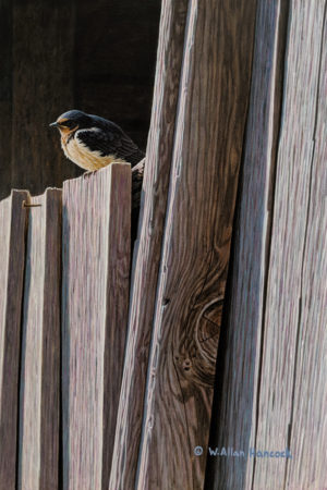 "SOLD ""Bored - Young Barn Swallow,"" by W. Allan Hancock 8 x 12 - acrylic $1150 Unframed $1400 in show frame"