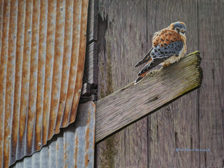 "SOLD ""Exposed - American Kestrel,"" by W. Allan Hancock 12 x 16 - acrylic $1760 Unframed $2050 in show frame"