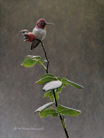 "SOLD ""Looking Hip - Anna's Hummingbird,"" by W. Allan Hancock 9 x 12 - acrylic $1265 Unframed $1415 in show frame"