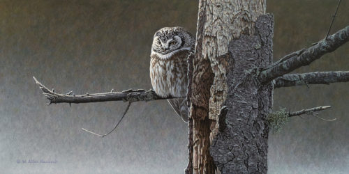 "SOLD ""Northern Crossroads - Boreal Owl,"" by W. Allan Hancock 12 x 24 - acrylic $2200 Unframed $2580 in show frame"