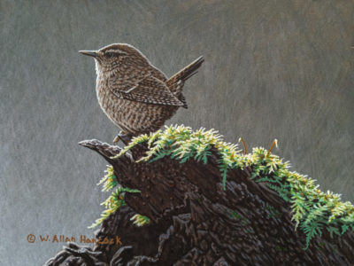 "SOLD ""On a Carpet of Green - Winter Wren,"" by W. Allan Hancock 6 x 8 - acrylic $660 Unframed $850 in show frame"