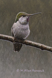 "SOLD ""Anna's Hummingbird (female),"" by W. Allan Hancock 4 x 6 - acrylic $500 Unframed $685 in show frame"