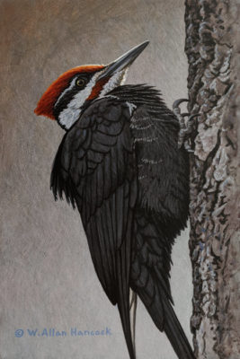 """Pileated Woodpecker (Study),"" by W. Allan Hancock 6 x 9 - acrylic $730 Unframed"