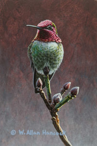 "SOLD ""The Jewel is Set - Anna's Hummingbird,"" by W. Allan Hancock 4 x 6 - acrylic $500 Unframed"