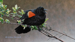 """SOLD """"A Song in Spring - Red-winged Blackbird,"""" by W. Allan Hancock 6 x 11 - acrylic $825 Unframed"""