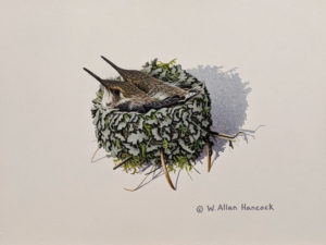 """SOLD """"Double Occupancy - Young Rufous Hummingbirds,"""" by W. Allan Hancock 7 x 9 - acrylic $800 Unframed"""