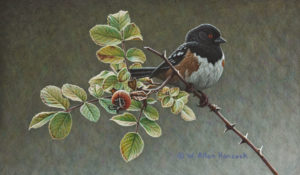"""SOLD """"Among the Thorns - Spotted Towhee"""" by W. Allan Hancock 7 x 12 - acrylic $950 Unframed $1165 in show frame"""