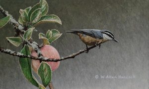 """SOLD """"One Last Round - Red-breasted Nuthatch,"""" by W. Allan Hancock 6 x 10 - acrylic $800 Unframed $1015 in show frame"""