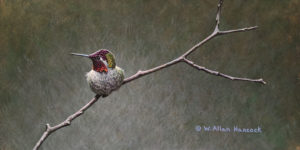 "SOLD ""Barely Perched - Anna's Hummingbird,"" by W. Allan Hancock 6 x 12 - acrylic $890 Unframed"