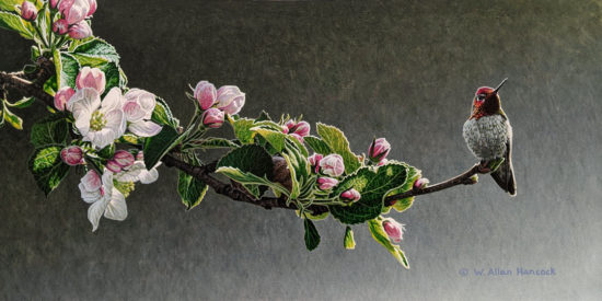 """SOLD """"Among the Apple Blossoms - Anna's Hummingbird,"""" by W. Allan Hancock 8 x 16 - acrylic $1385 Unframed"""