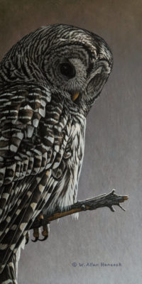 """SOLD """"Watching From Above - Barred Owl,"""" by W. Allan Hancock 7 x 14 - acrylic $1165 Unframed"""